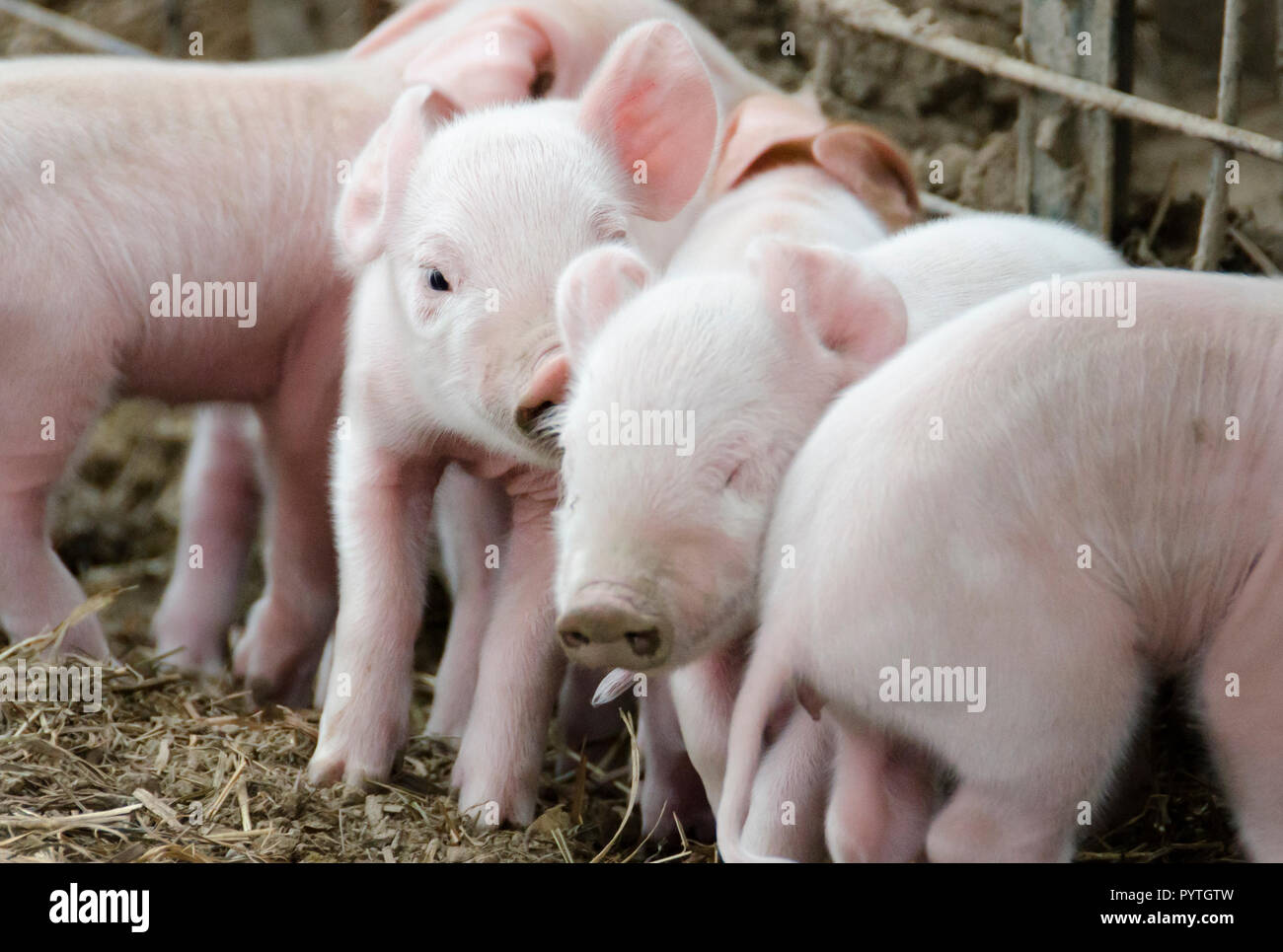 Closeup of a group of piglets huddled together in a barn - Stock Image