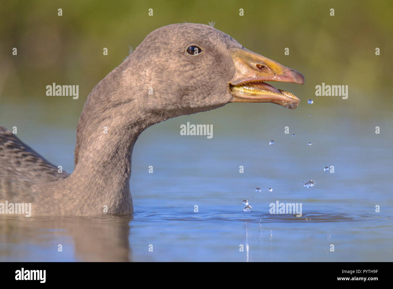 Swimming Greylag goose (Anser anser) bird drinking water. This species has a Palearctic distribution and breeds in Europe and North Asia. - Stock Image