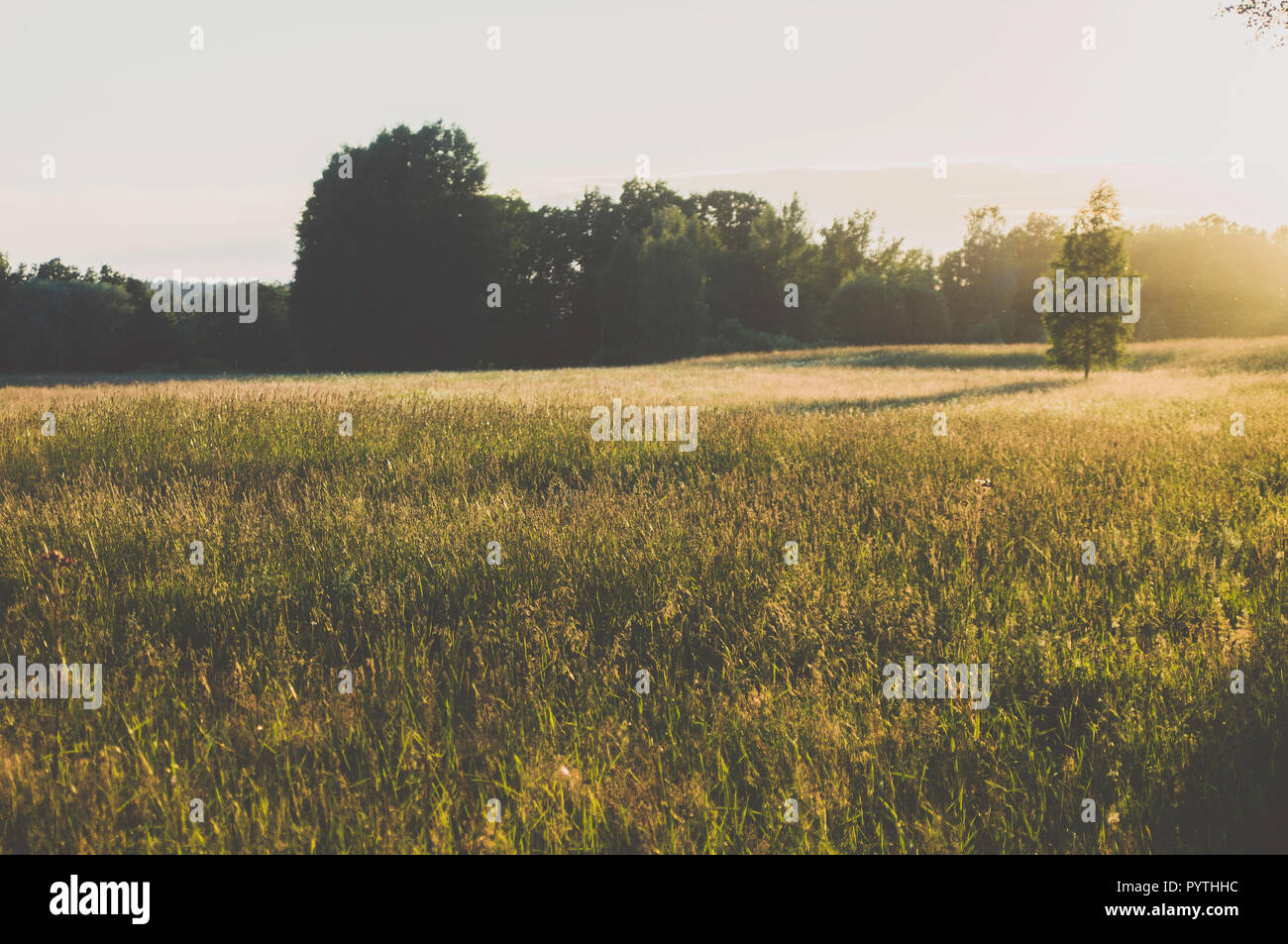 Birch in the grass field. Long evening shadows. - Stock Image