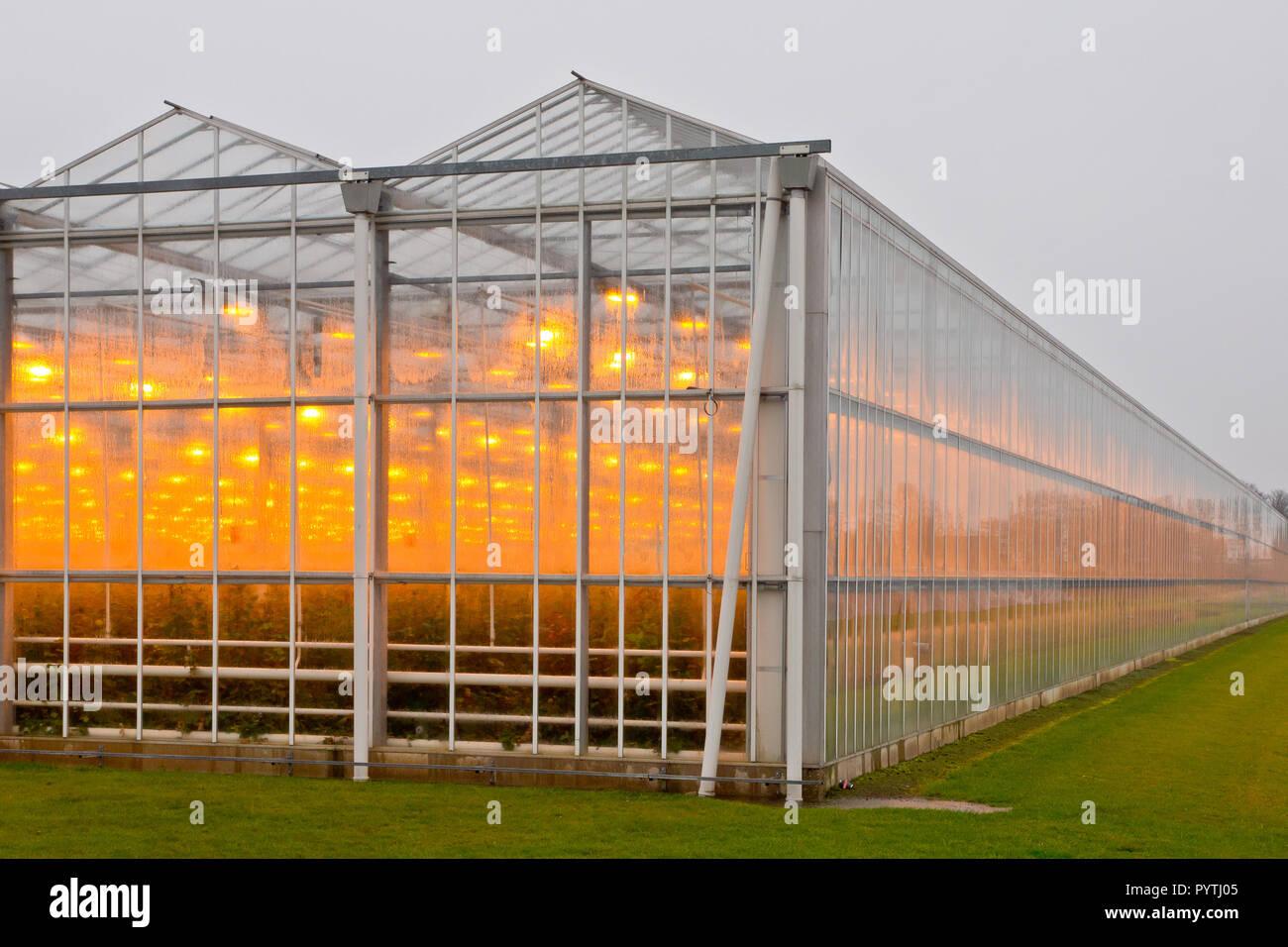Orange light through moist glass of a giant commercial glasshouse - Stock Image