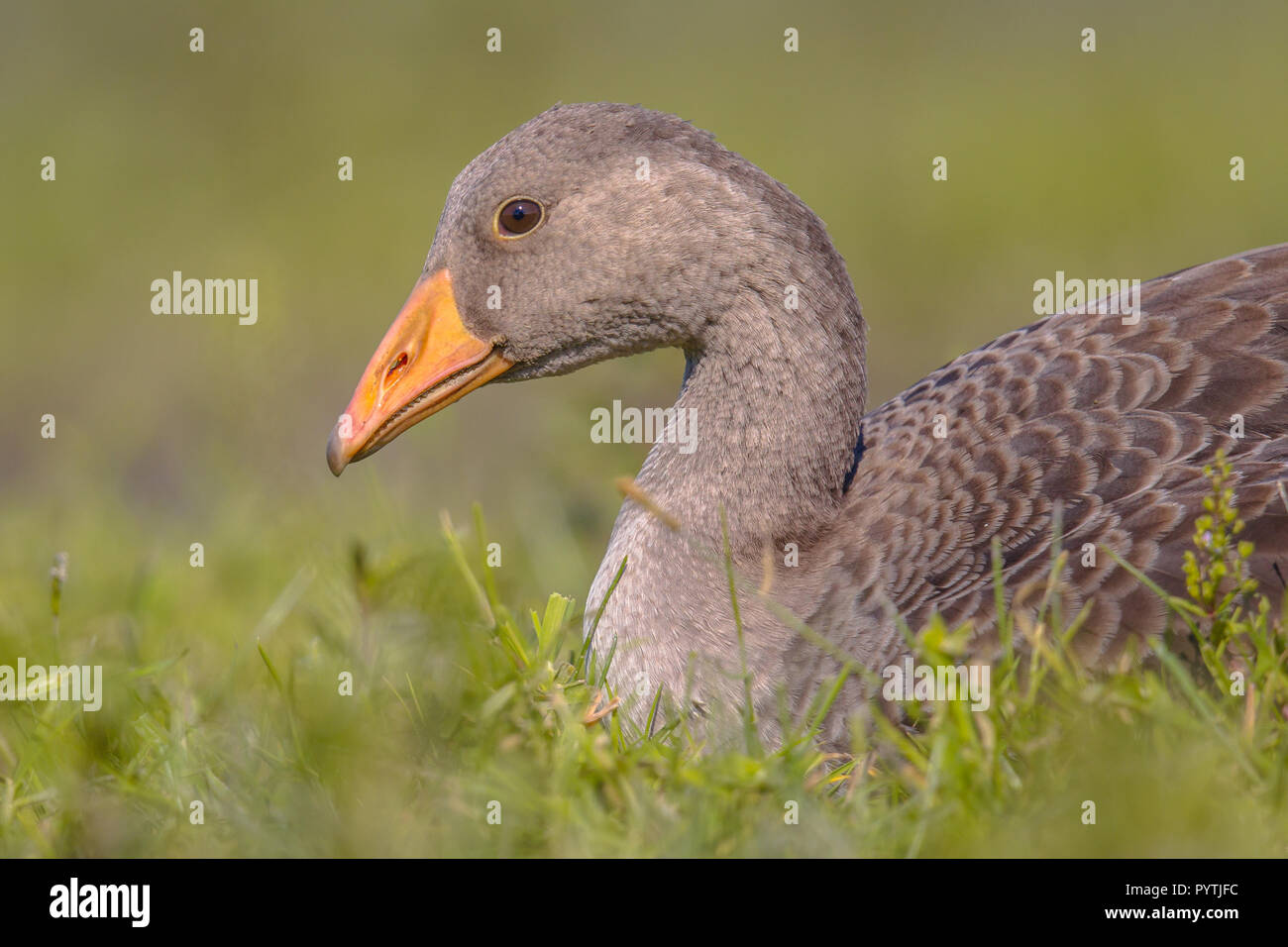 Greylag goose (Anser anser) bird lying in grass. This species has a Palearctic distribution and breeds in Europe and North Asia. - Stock Image
