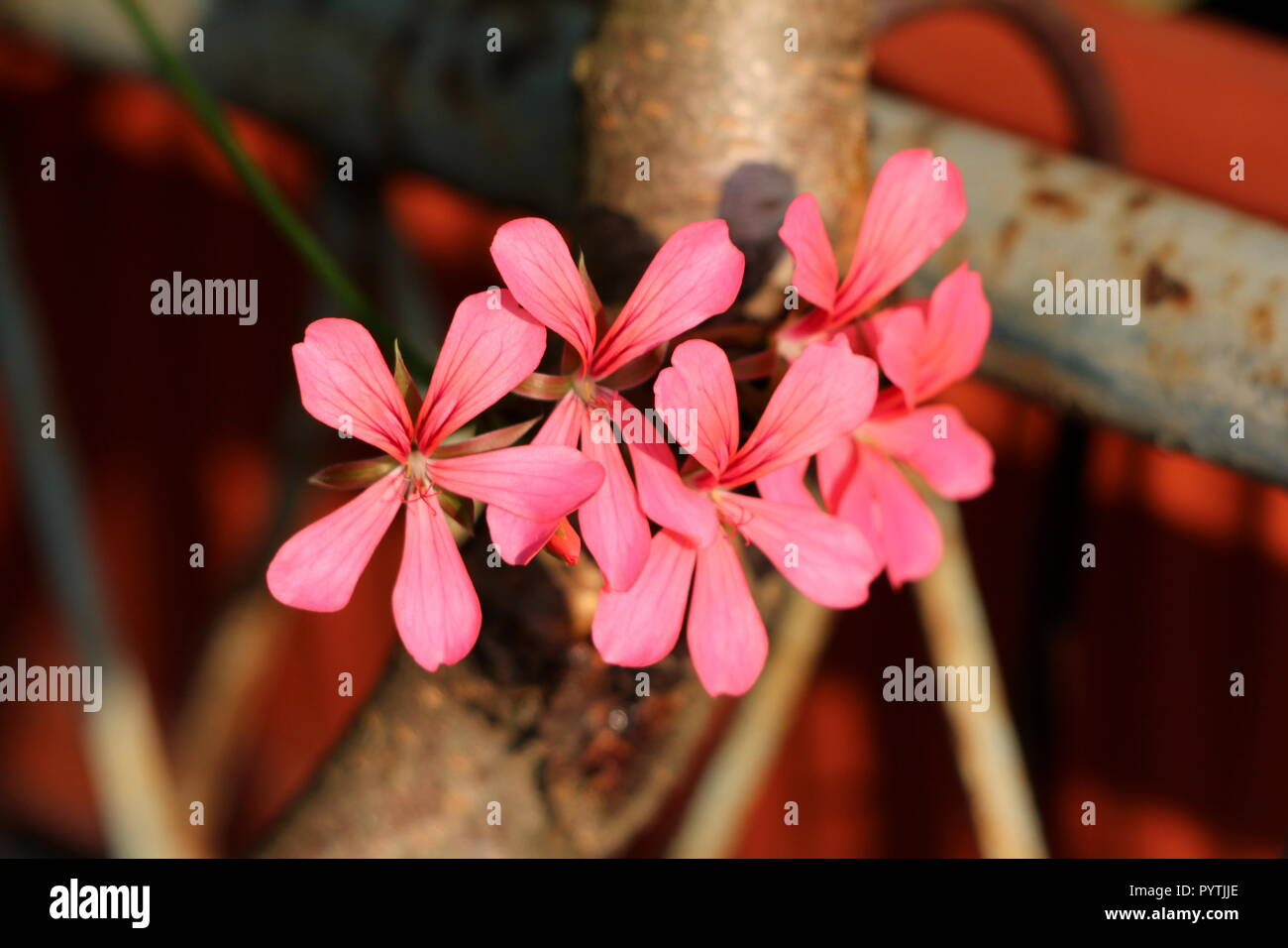 Dark pink fully open blooming Pelargonium flowers reaching out towards sun over old rusted metal fence and thick wooden branches at sunset - Stock Image