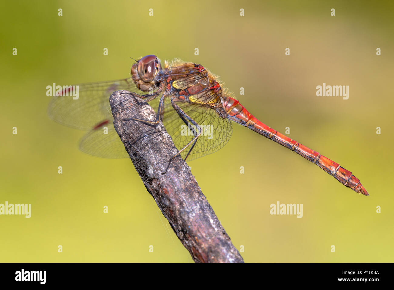 Common darter dragonfly (Sympetrum striolatum) perched on stick in the summer sun Stock Photo