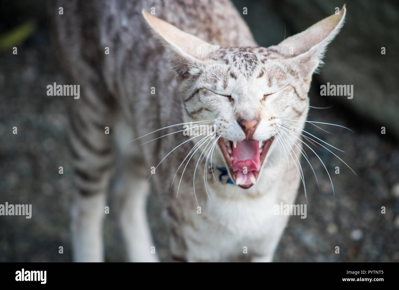 close up image of a cat meowing with copy space - Stock Image