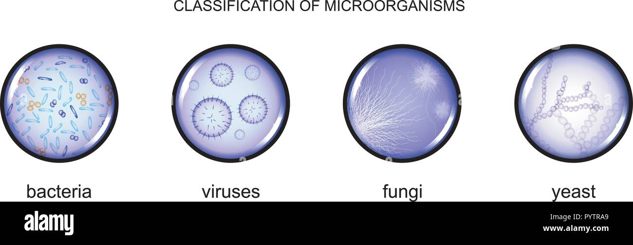 vector illustration classification of microorganisms.  bacteria, viruses, fungi and yeast    Stock Vector