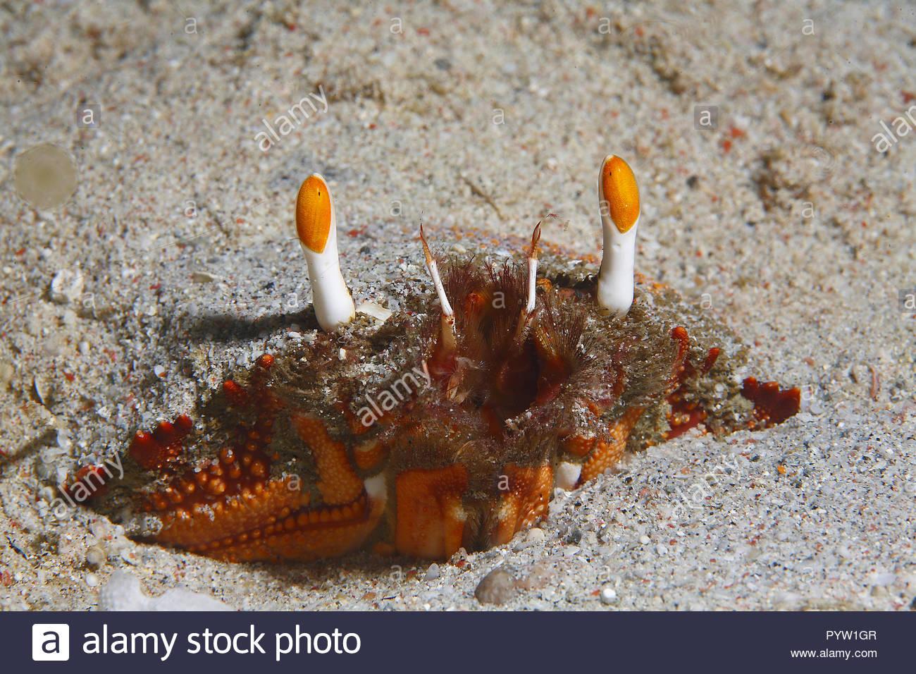 Eye detail of a Spanner crab (Ranina ranina), Sabang Beach, Mindoro, Philippines - Stock Image