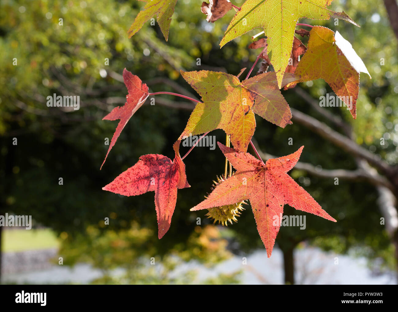 Japanese Maple Leaves Turn Red And Orange In Autumn Or Fall Close