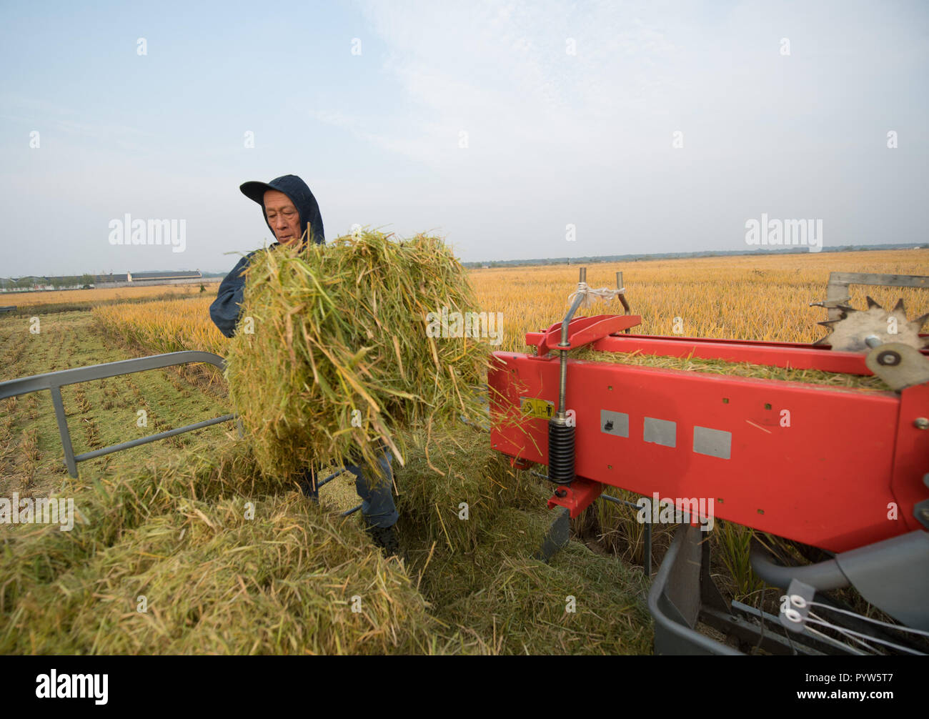 Huzhou, China's Zhejiang Province. 30th Oct, 2018. A rural cooperative staff member recycles rice straw as fodder for sheep in a field at Qianshanxia Village in Wuxing District of Huzhou City, east China's Zhejiang Province, on Oct. 30, 2018. Since 2016, the cooperative has explored to develop recycling agriculture by organically incorporating rice planting with sheep breeding. Credit: Weng Xinyang/Xinhua/Alamy Live News - Stock Image