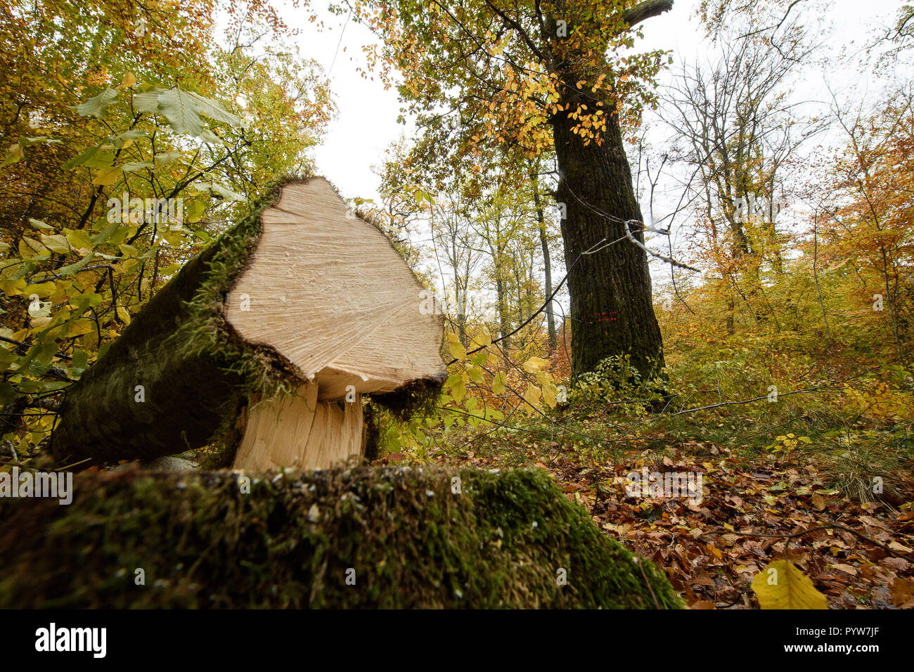 Waldenbuch, Germany. 30th Oct, 2018. A felled beech tree lies in front of an oak tree during the presentation of measures to protect the Juchten beetle within the framework of the Stuttgart 21 railway project. This offers potential as a habitat for Juchten beetles and was therefore exempted. As compensation for felled trees in Stuttgart, measures are being carried out in a forest near Waldenbuch to improve and secure the habitat of Juchten beetle populations living there in the long term. Credit: Sebastian Gollnow/dpa/Alamy Live News - Stock Image