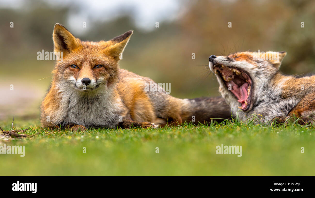 Two European red fox (Vulpes vulpes) family members lying in grass and moaning. This animal is present across the entire Northern Hemisphere from the  - Stock Image