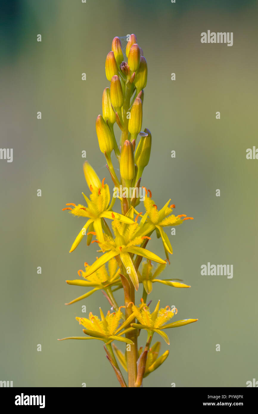 Detailed image of Bog Asphodel (Narthecium ossifragum) flower. A plant of Western Europe, found on wet, boggy moorlands up to about 1000 m in elevatio - Stock Image