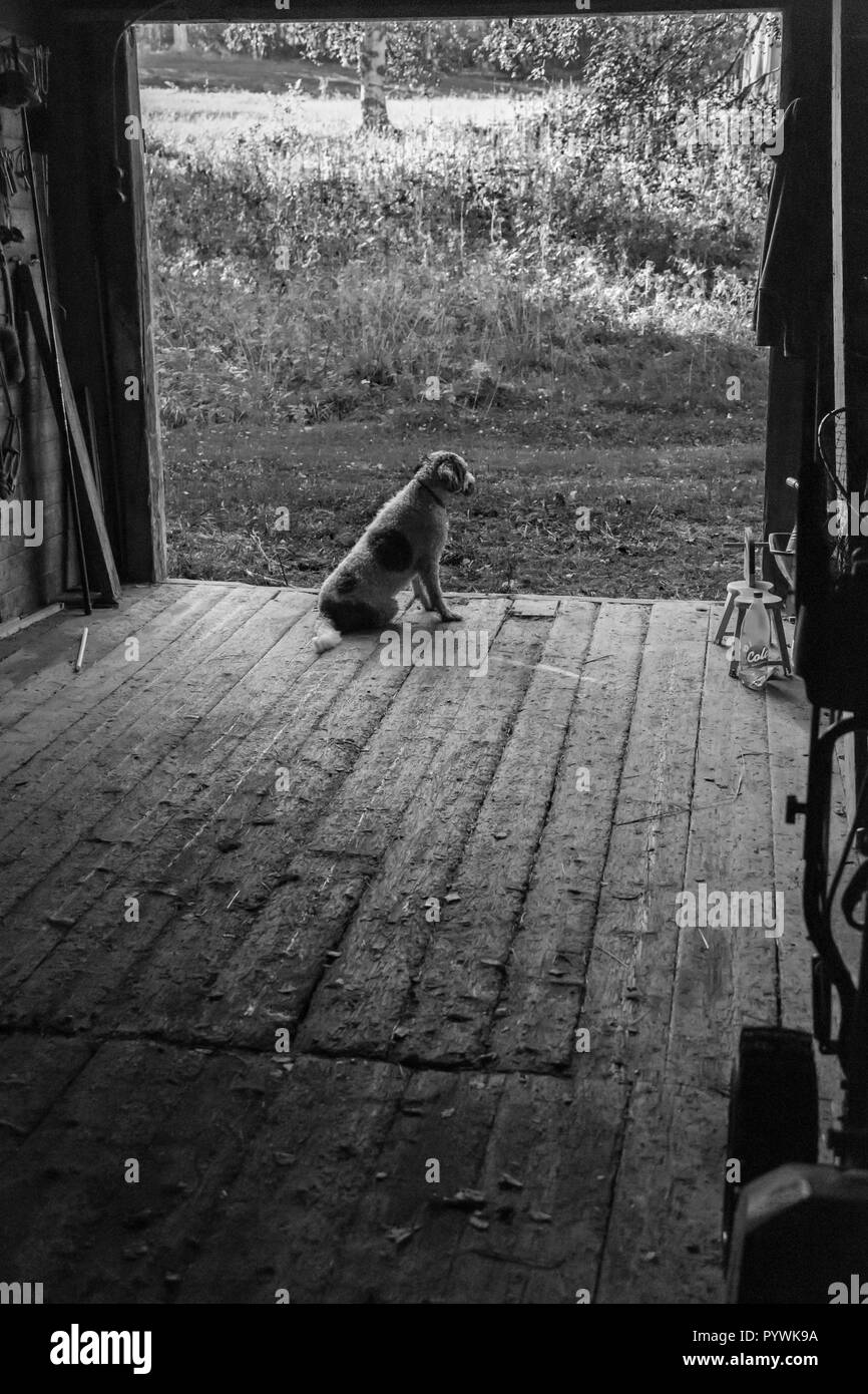 Dog sitting quietly and watching in an old Swedish farm in northern Sweden - Stock Image