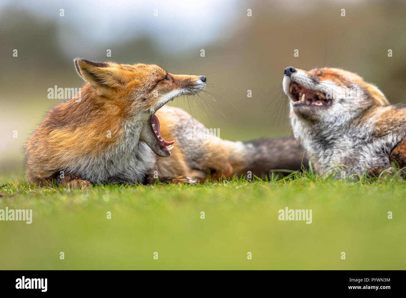 Two Growling European red foxes (Vulpes vulpes) lying in grass. The most abundant wild member of the Carnivora, being present across the entire Northe - Stock Image