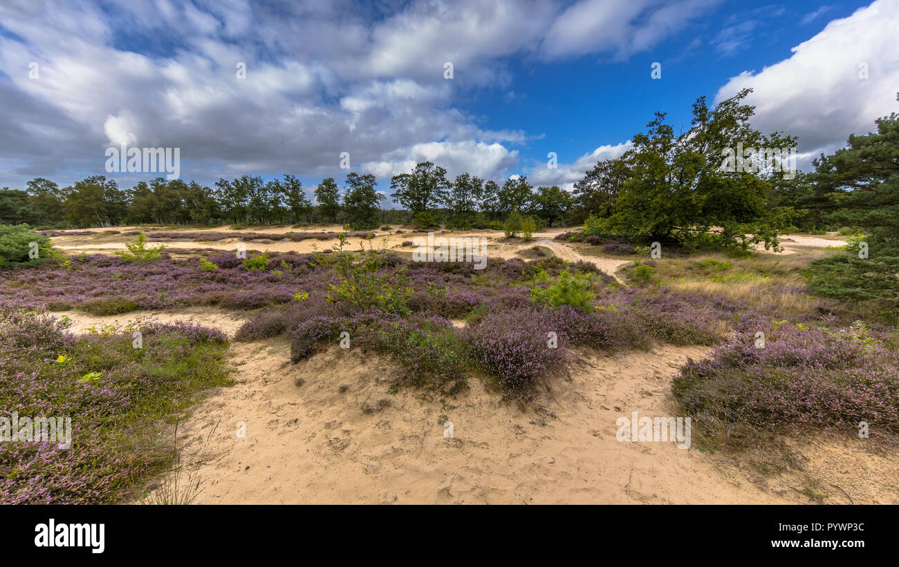 Panorama image of Nature reserve near Zeegse in Drentse Aa National Park with blooming heath (Calluna vulgaris), sand, grass, clouds and blue sky Stock Photo