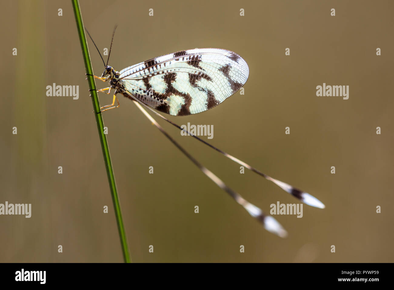 Colorful antlion relative Nemoptera is a Palearctic genus of insects of the family Nemopteridae or spoonwings. - Stock Image