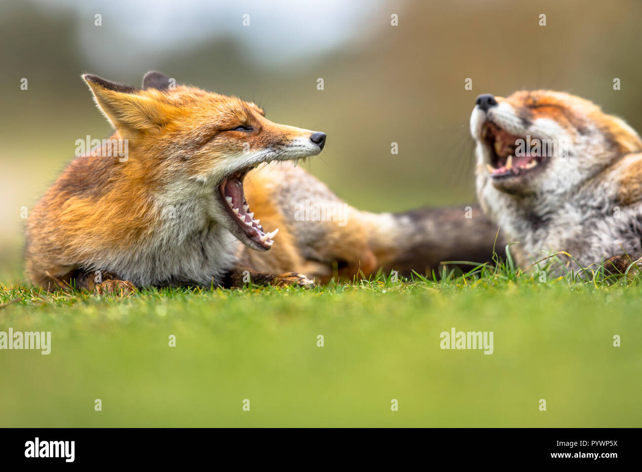 Two European red foxes (Vulpes vulpes) growling to each other in grass. The most abundant wild member of the Carnivora, being present across the entir - Stock Image