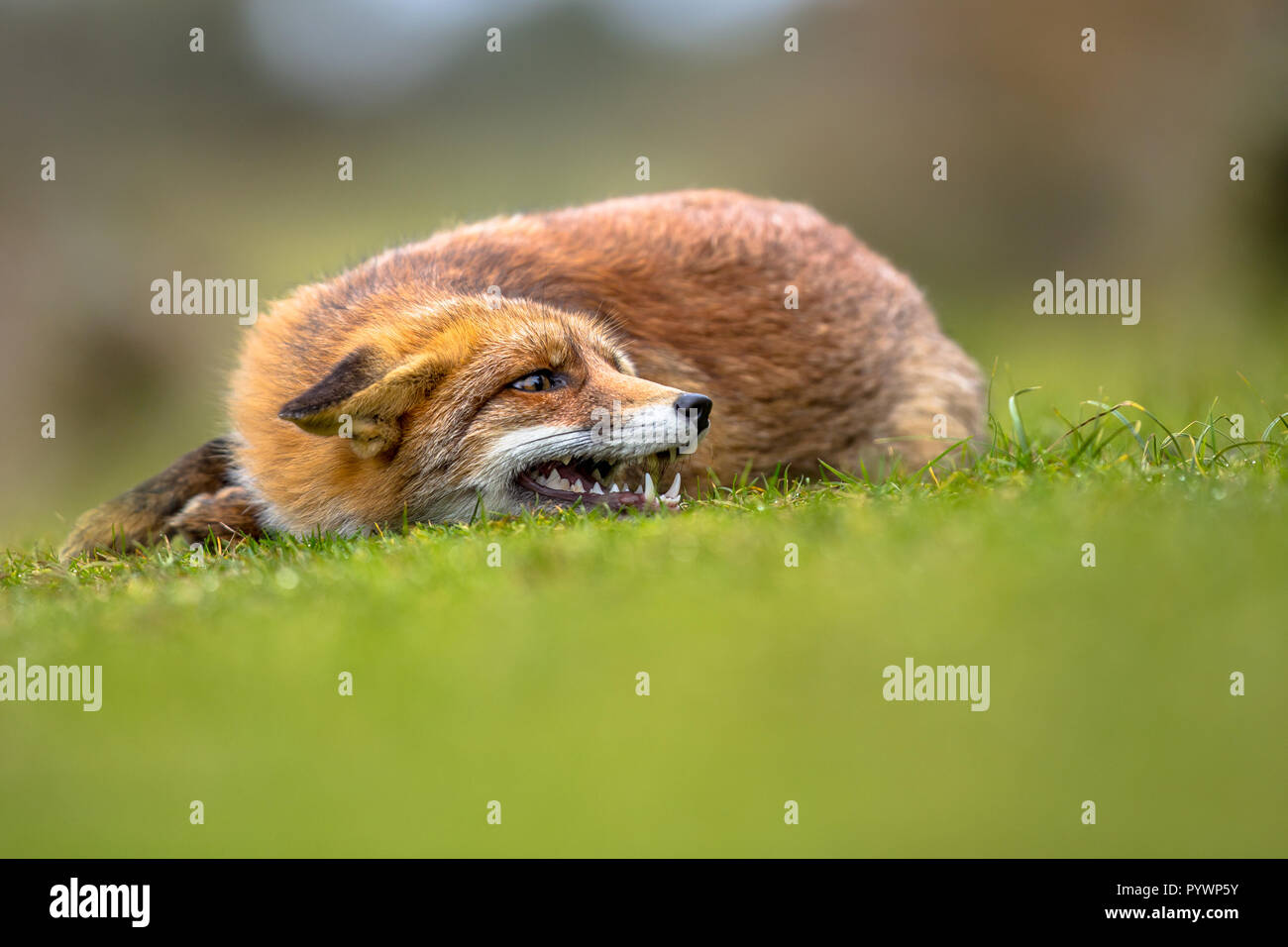 Growling European red fox (Vulpes vulpes) lying in grass. The most abundant wild member of the Carnivora, being present across the entire Northern Hem - Stock Image