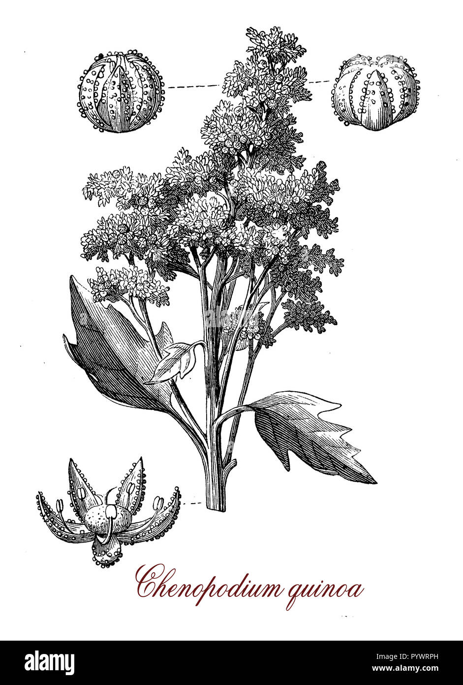 Vintage botanical engraving of  quinoa, flowering plant and grain crop with edible gluten-free  seeds rich in vitamins,fiber, protein and minerals. - Stock Image