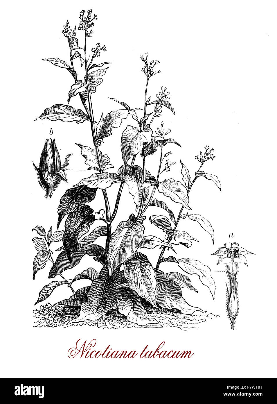 Vintage botanical engraving of cultivated tobacco, plant found only in cultivation, the leaves are commercially processed into tobacco. All part plants are sticky covered by a secretion containing nicotine, except the seeds. - Stock Image