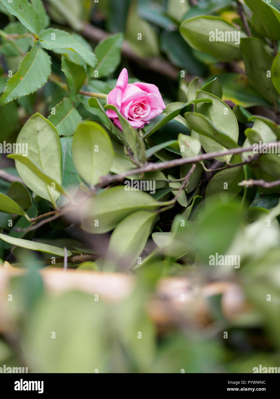 Pink rose among yard clippings - Stock Image