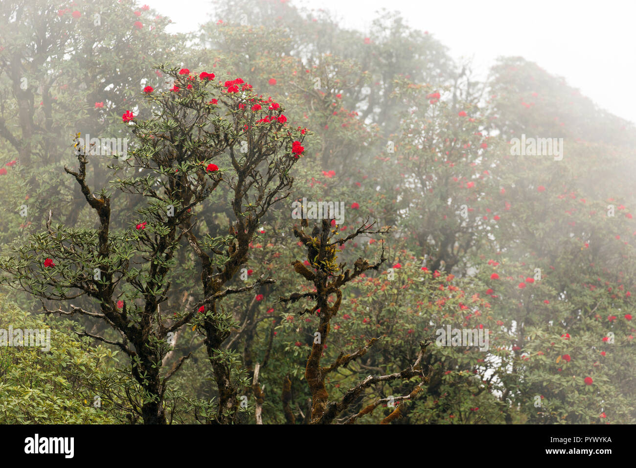 Rhododendron Arboreum blossom in a foggy day at the Doi Inthanon national park, Thailand - Stock Image