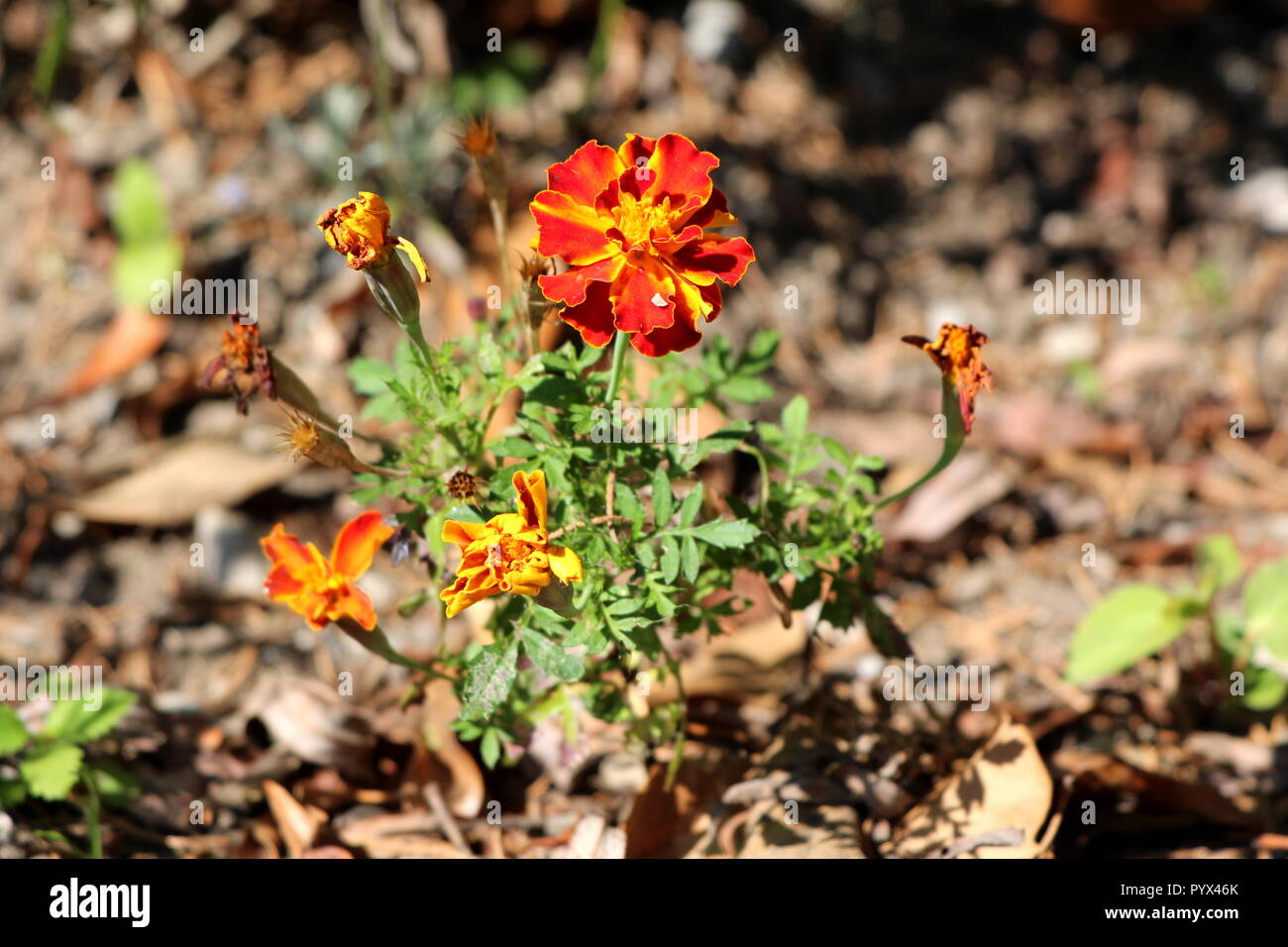 Mexican marigold or Tagetes erecta or Aztec marigold or African marigold or Big marigold single herbaceous annual plant - Stock Image