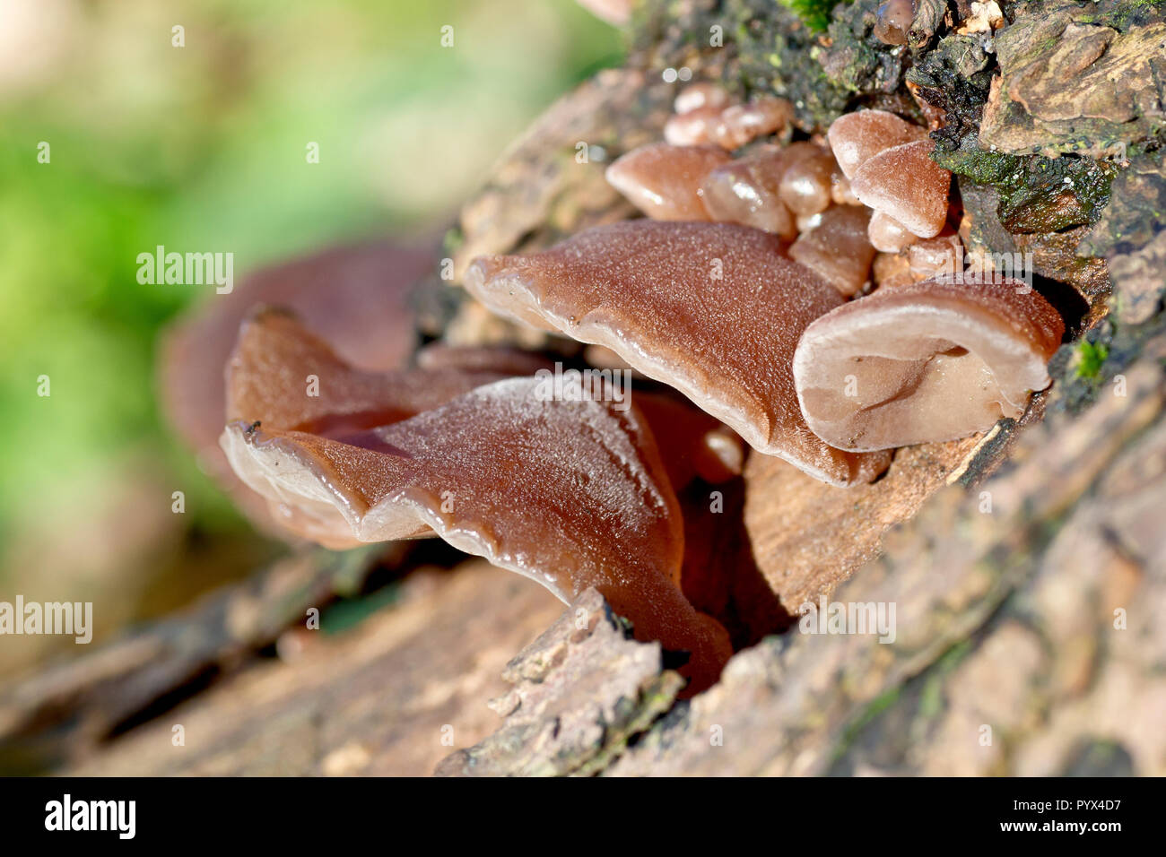 Close up of Hirneola Auricula-judae fungi growing on a fallen tree. Formerly known as Jew's Ear, now called Jelly Ear. - Stock Image