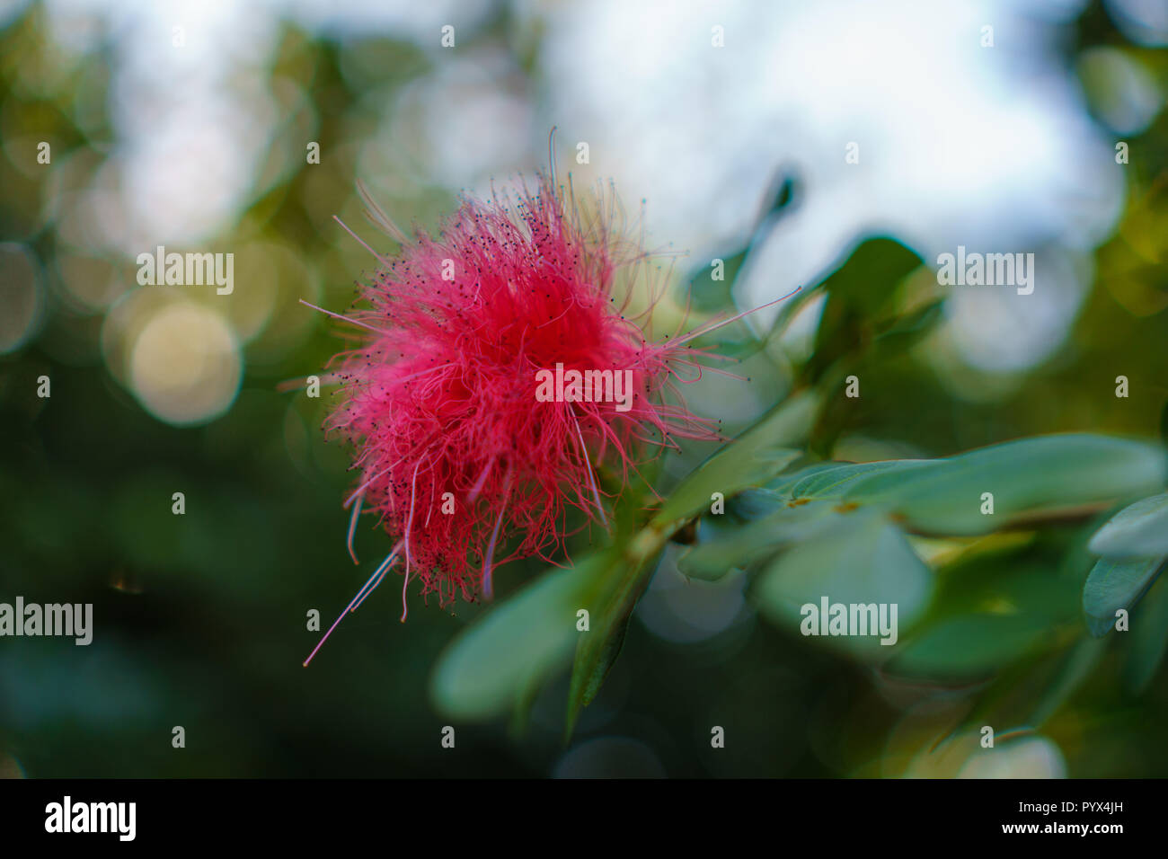 Pink Fluffy Mimosa Flower Blooming On Its Tree In The Garden Of