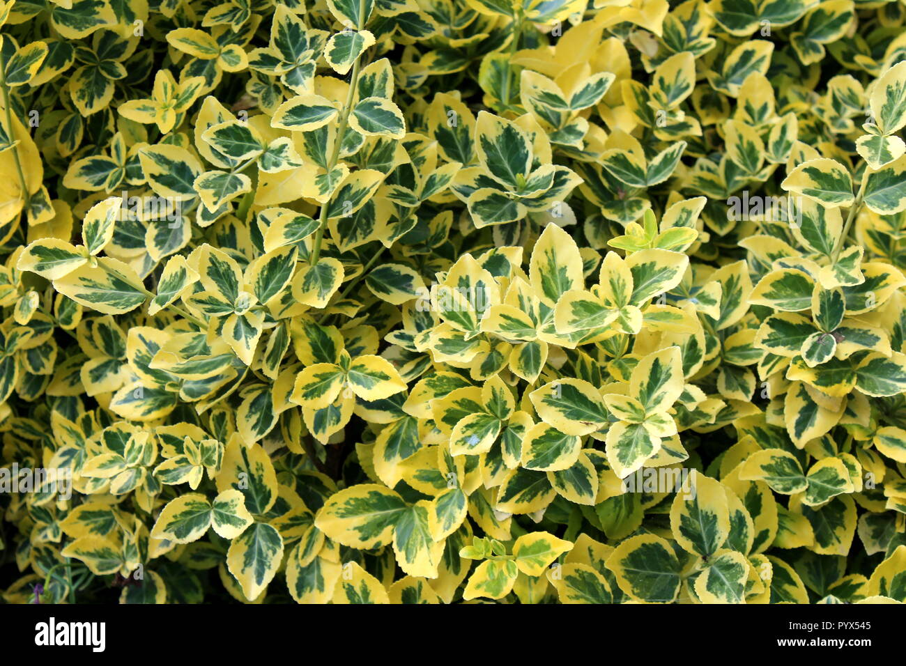 Wintercreeper or Euonymus fortunei or Spindle or Climbing euonymus or Fortunes spindle or Winter creeper evergreen shrub plant with green to yellow - Stock Image