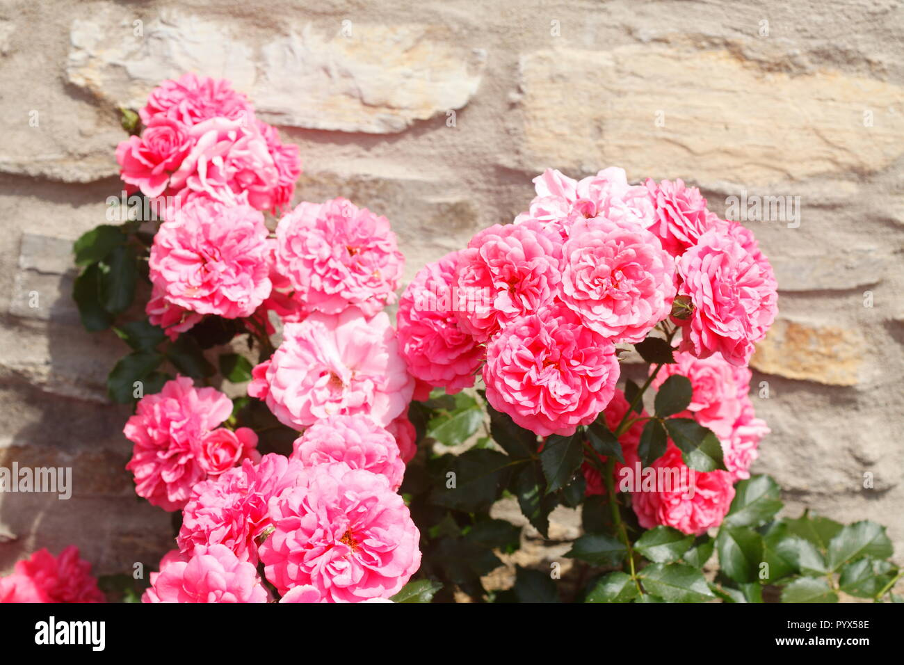 Pink roses in front of a stone wall, Germany, Europe Stock Photo