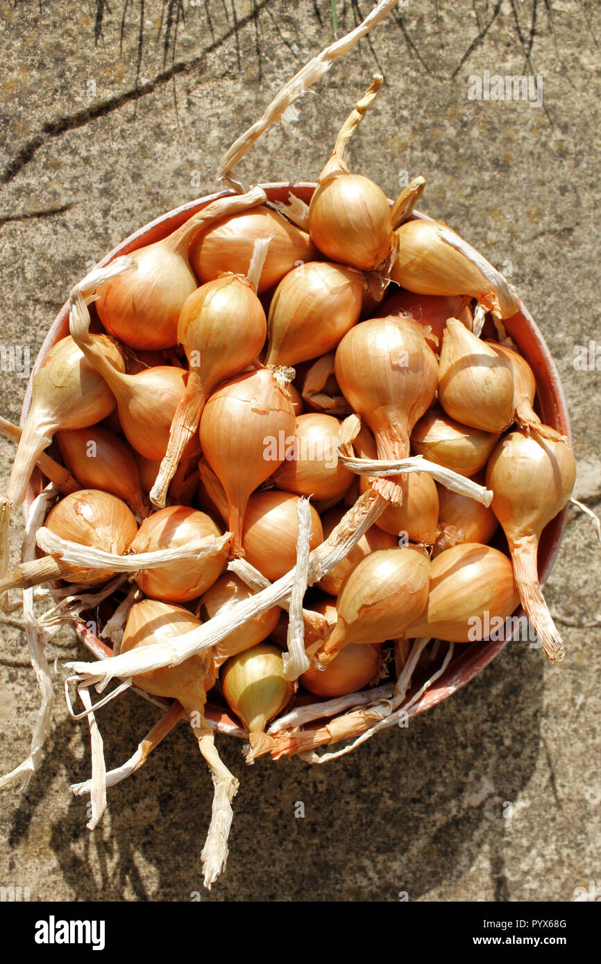 Freshly harvested Golden Gourmet Shallots grown organically - Stock Image