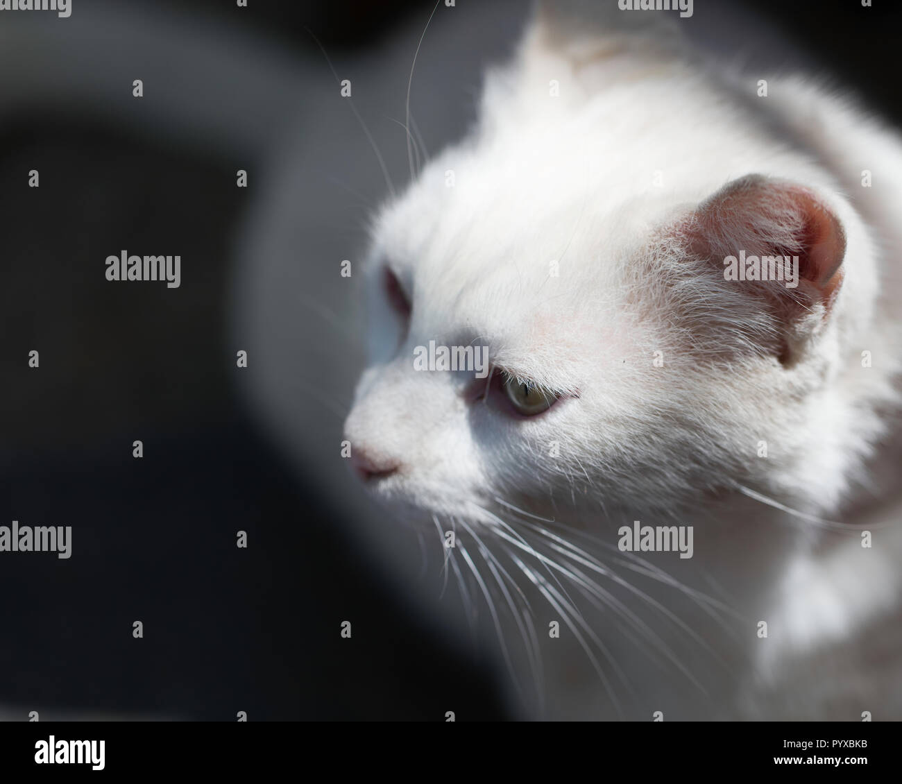 Hungry cat sitting in a restaurant and looking around - Stock Image