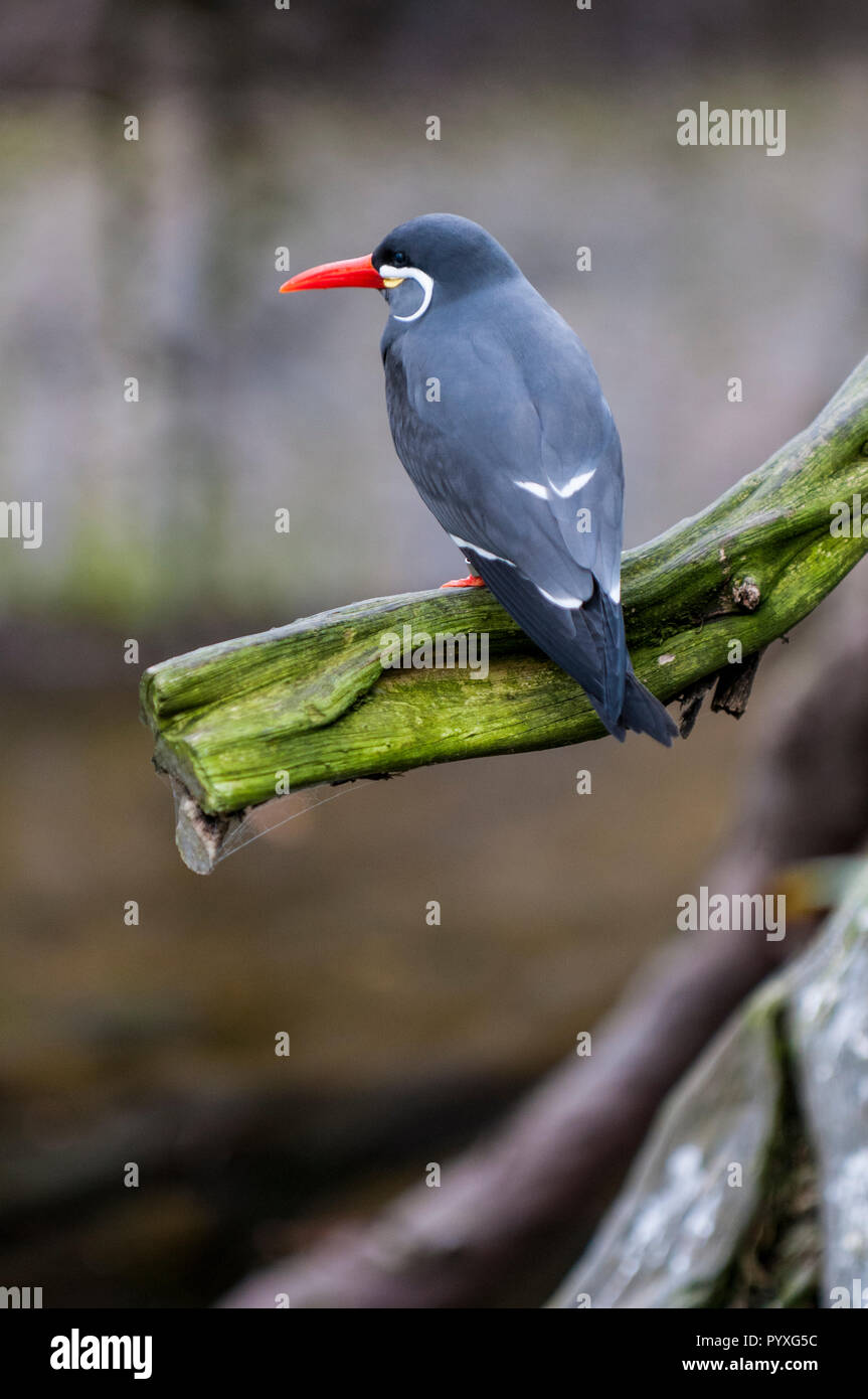Inca tern (Larosterna inca), San Diego Zoo, California. Stock Photo