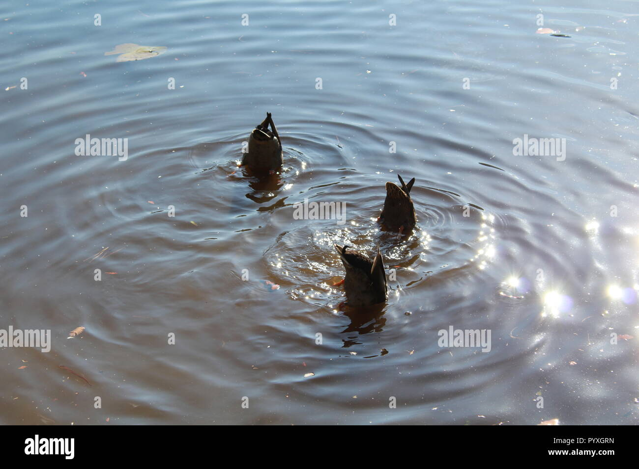 Three mallard ducks with their bottoms up in the water Stock Photo