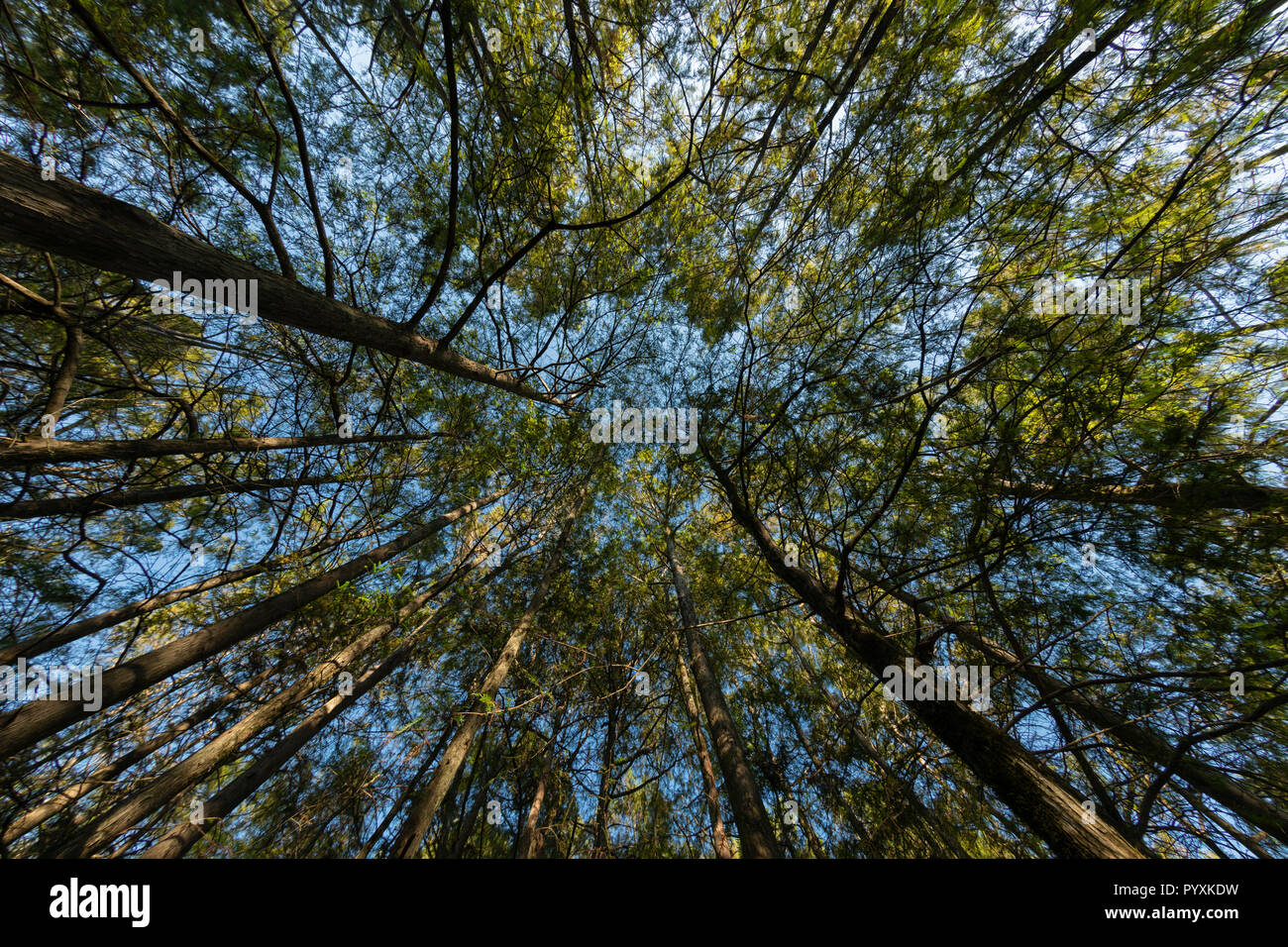 Cypress Tress from Below - Stock Image