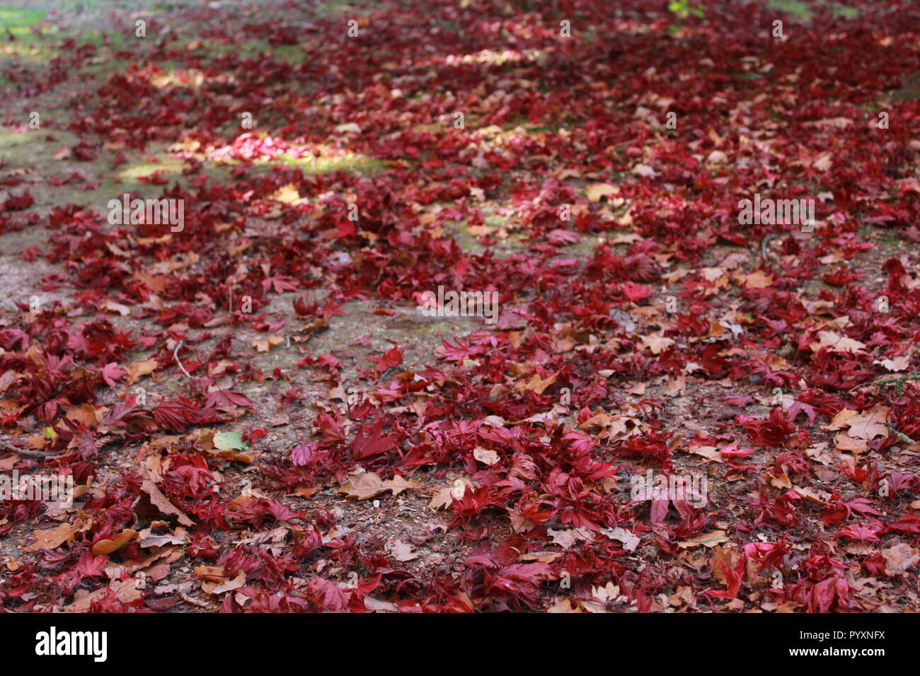 Ground Covered With Red Leaves Stock Photos Ground Covered