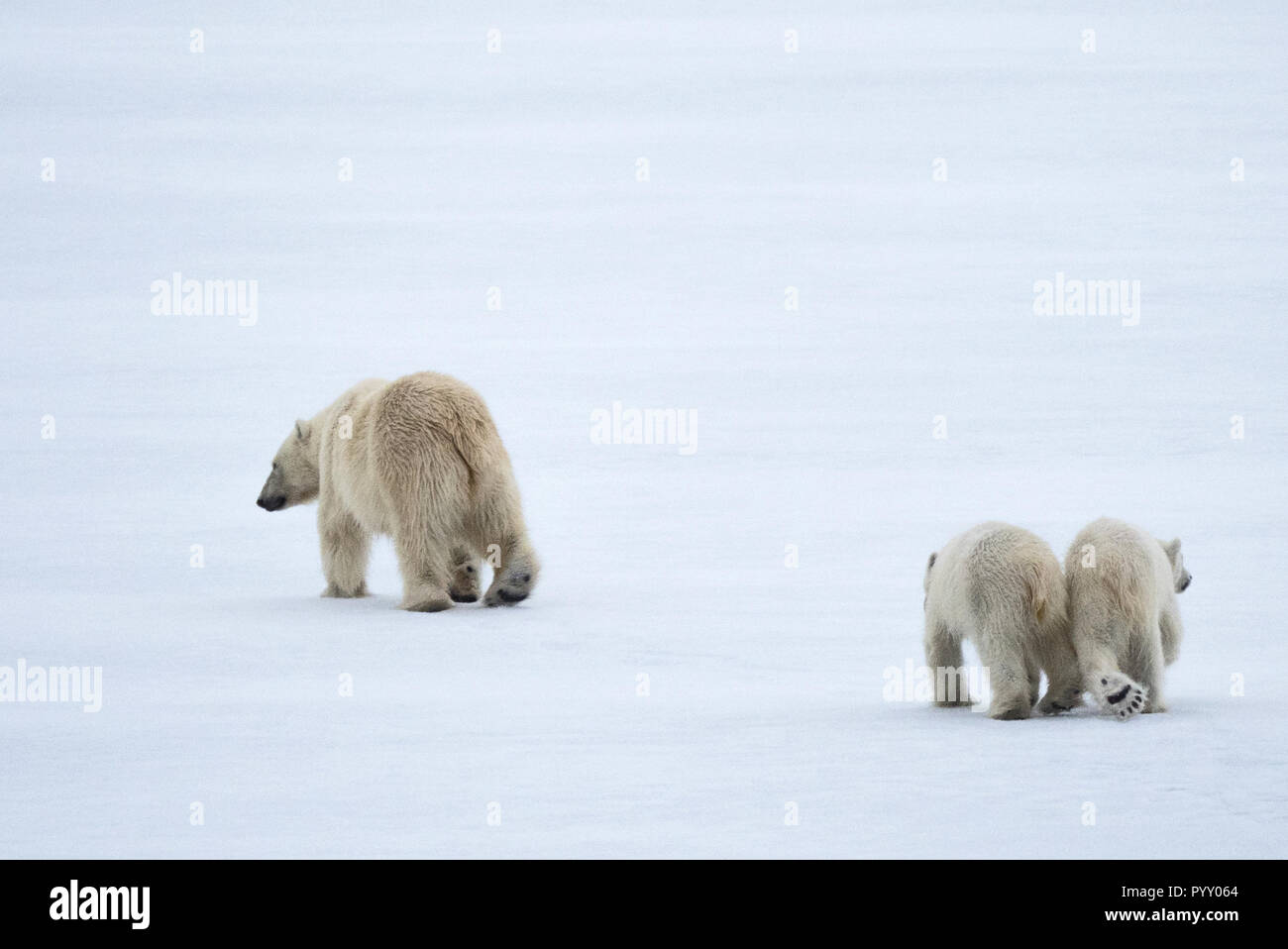 Joimed at the hip, polar bears in Svalbard - Stock Image