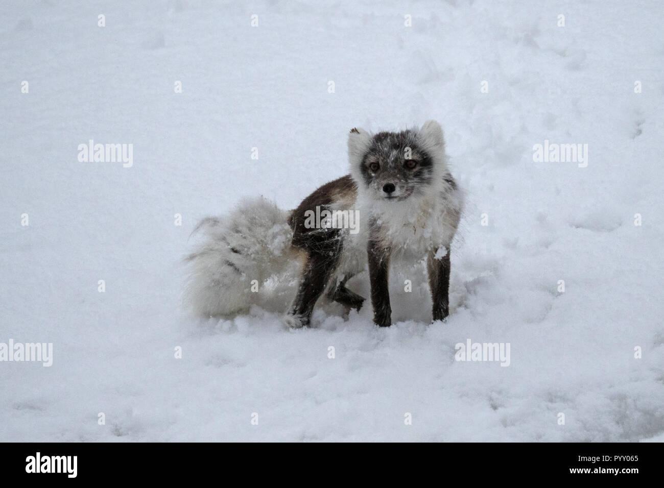 Arctic fox in the snow - Stock Image