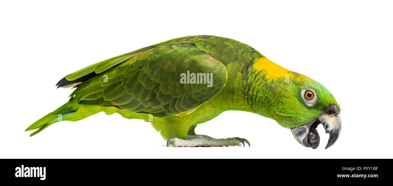 Yellow-naped parrot pecking (6 years old), isolated on white Stock Photo