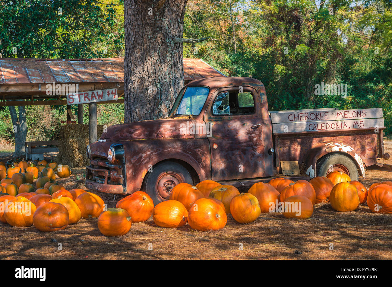 Pumpkins are scattered across a bed of pine straw, lending a seasonal touch, October 29, 2011, in Caledonia, Mississippi. Stock Photo