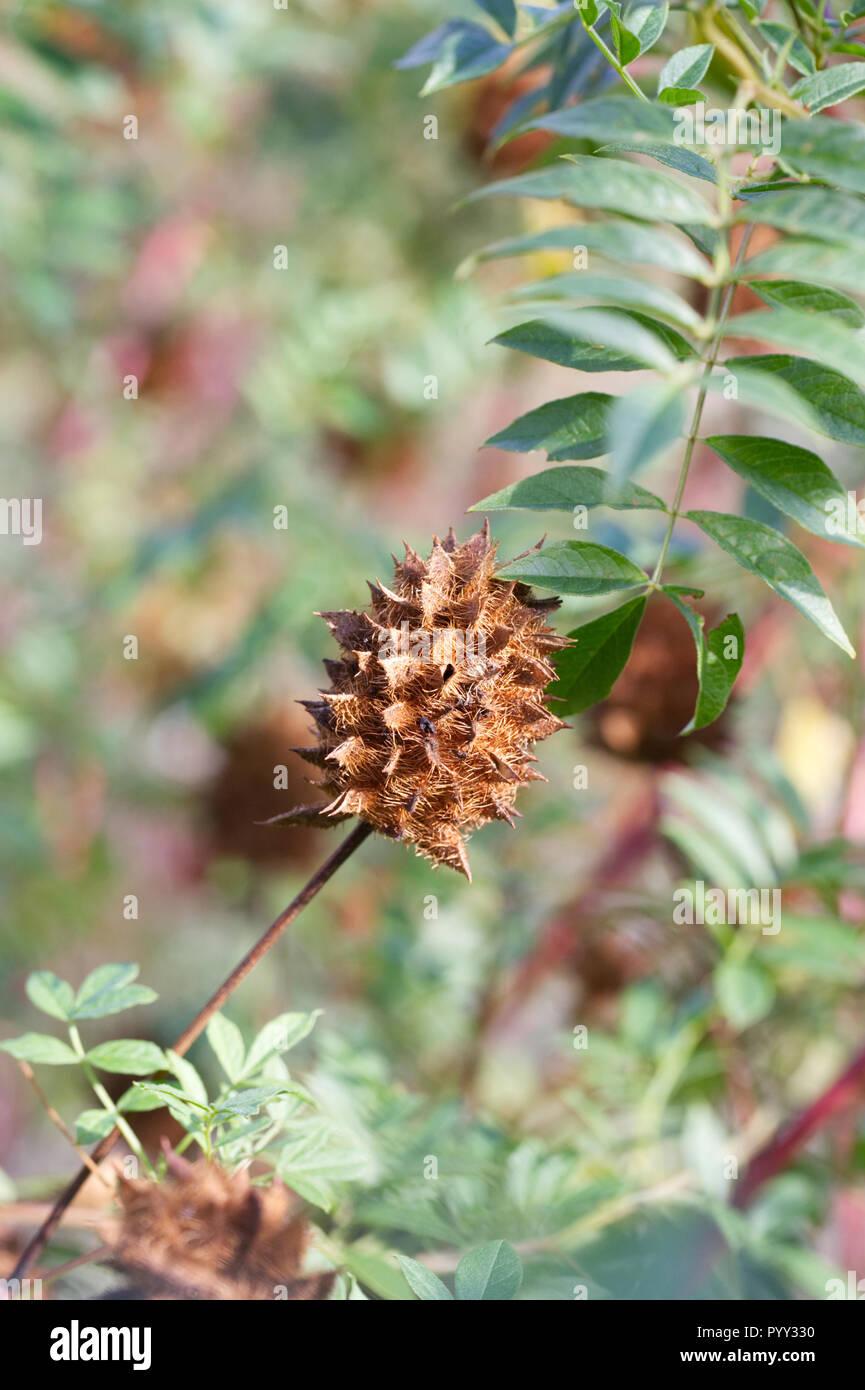 Glycyrrhiza yunnanensis seedhead. Stock Photo