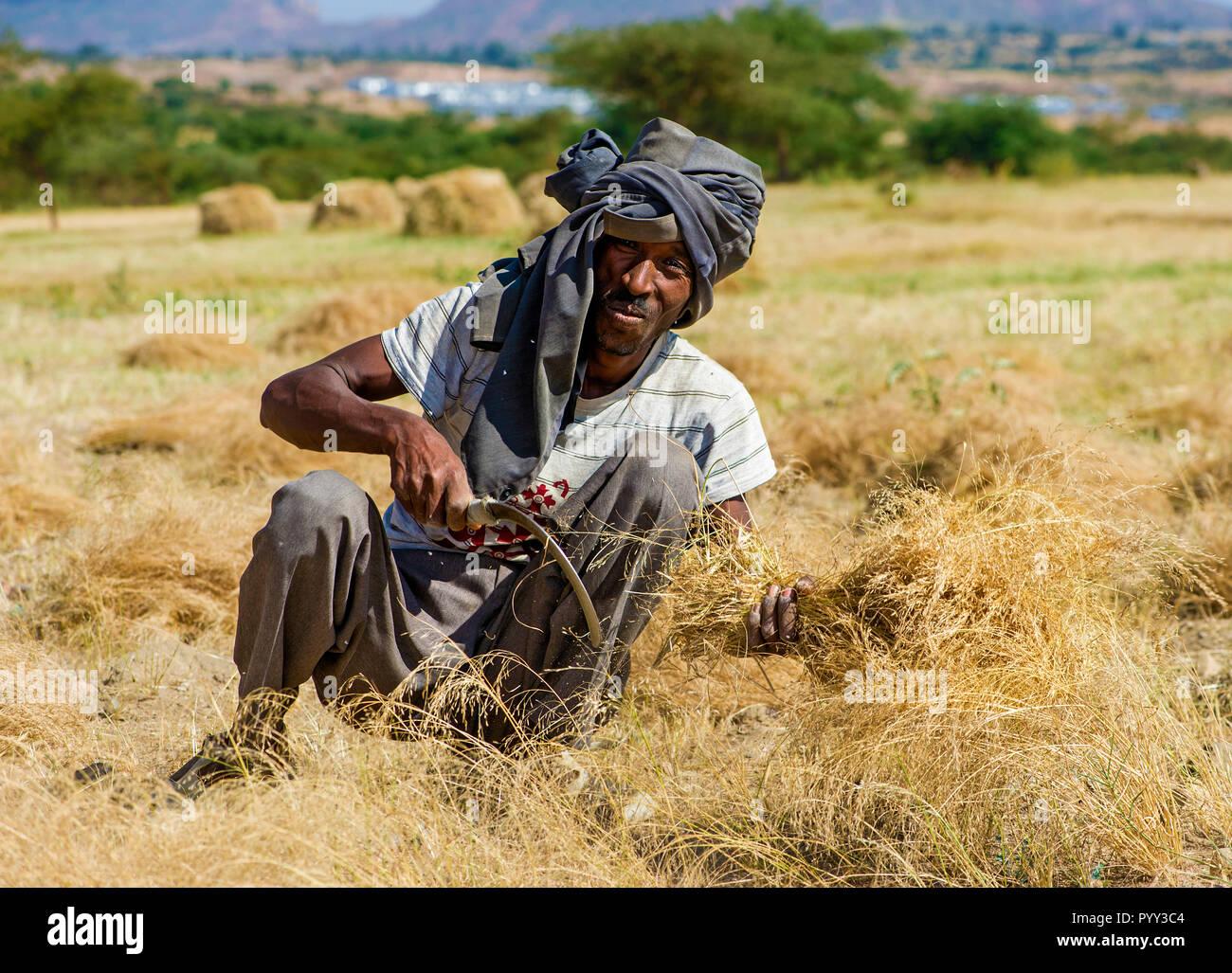 Farmer harvesting Teff (Eragrostis tef) with the sickle, Hawzien, Tigray, Ethiopia - Stock Image
