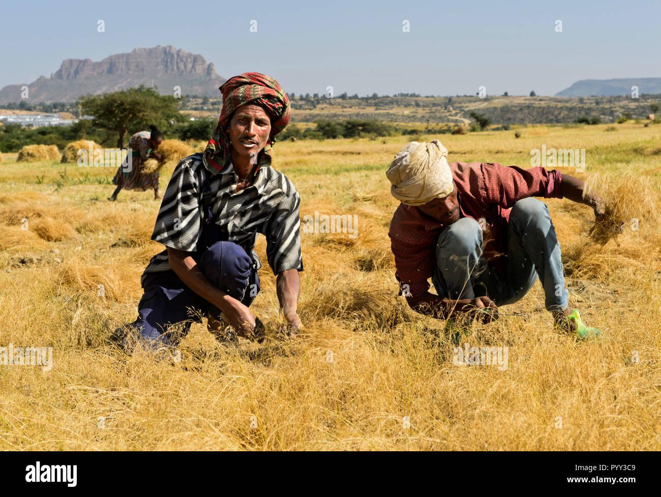 Farmers harvesting Teff (Eragrostis tef) with the sickle, Hawzien, Tigray, Ethiopia - Stock Image