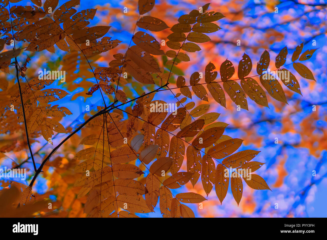 Colorful, golden and transparent on the light leaves of ash on the background of the sky, sunny day. Autumn season. Modern natural background - Stock Image