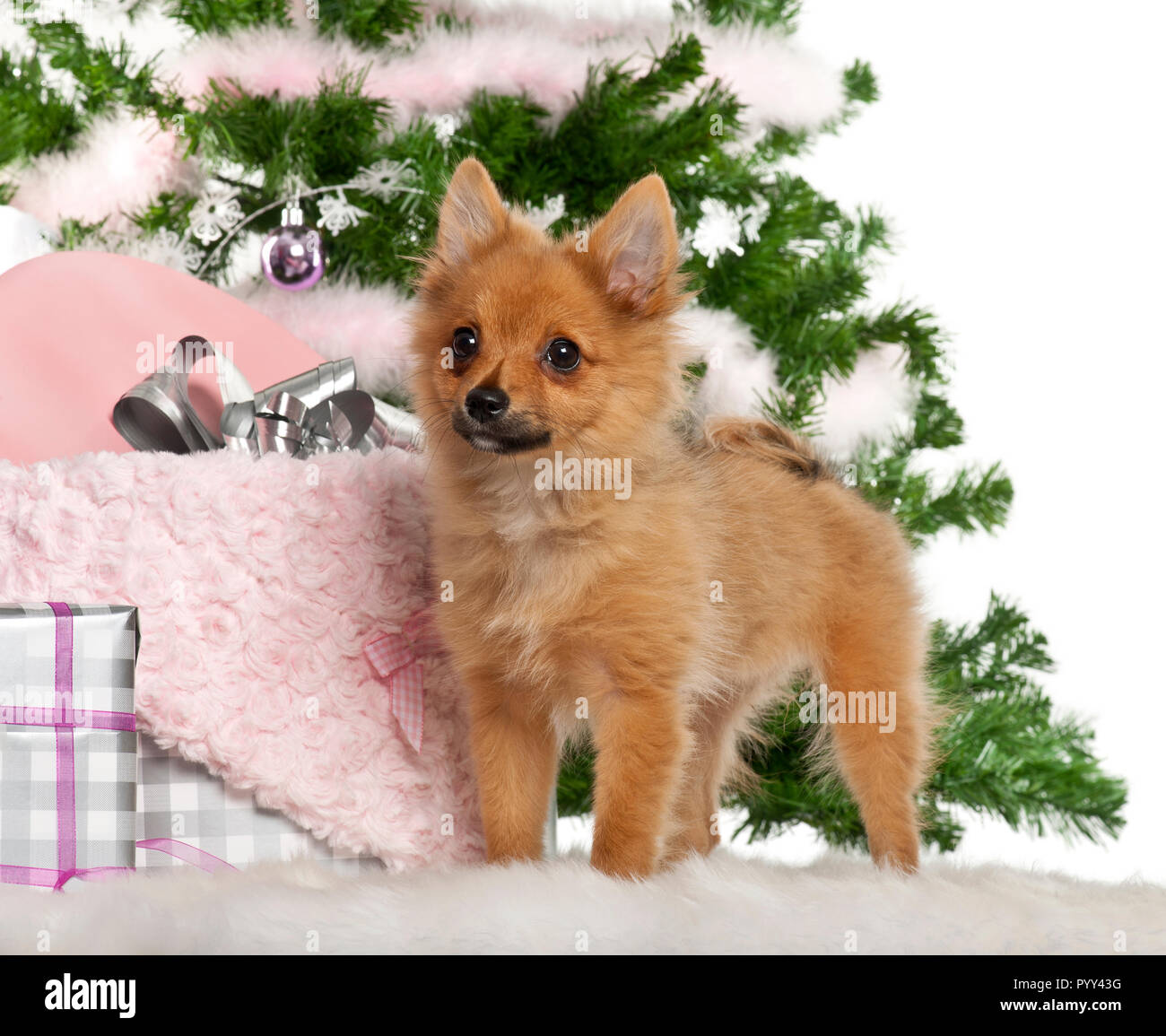 Japanese Spitz puppy, 4 months old, with Christmas gifts in front of ...