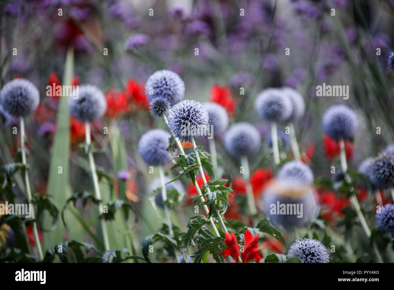 Tall Blue Flower Spikes Stock Photos Tall Blue Flower Spikes Stock