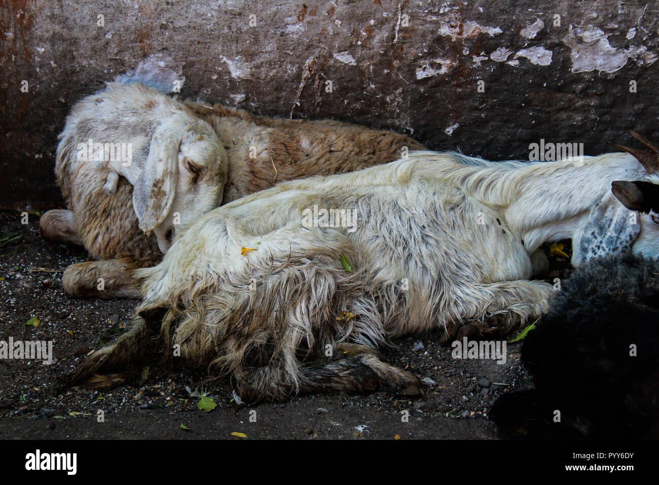 Two white goats rest on a street of Pune, India. After a painful trip the sorrow of these animals reflects on their tiredness, yet the entire world is. Stock Photo