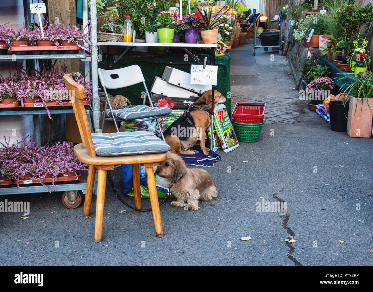 Germany,Berlin,Bernauerstrasse. Garden centre at Mauerpark with potted plants and two dogs waiting at entrance - Stock Image