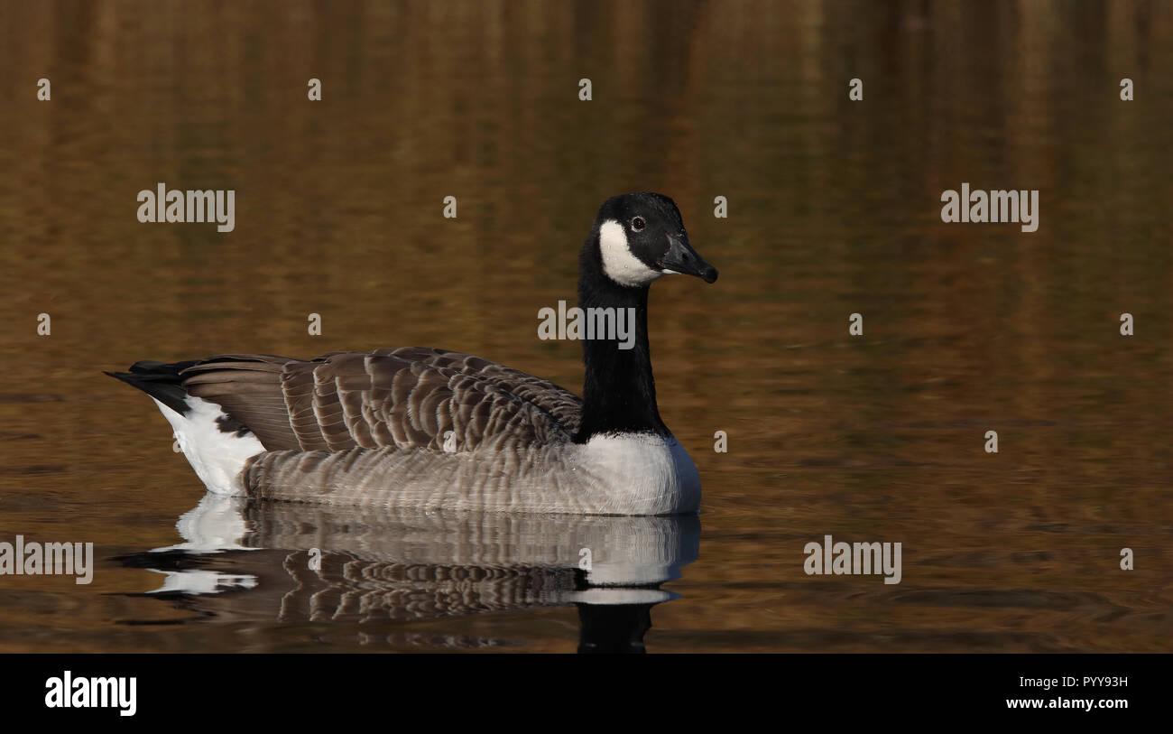 Canada goose ( Branta canadensis) - Stock Image