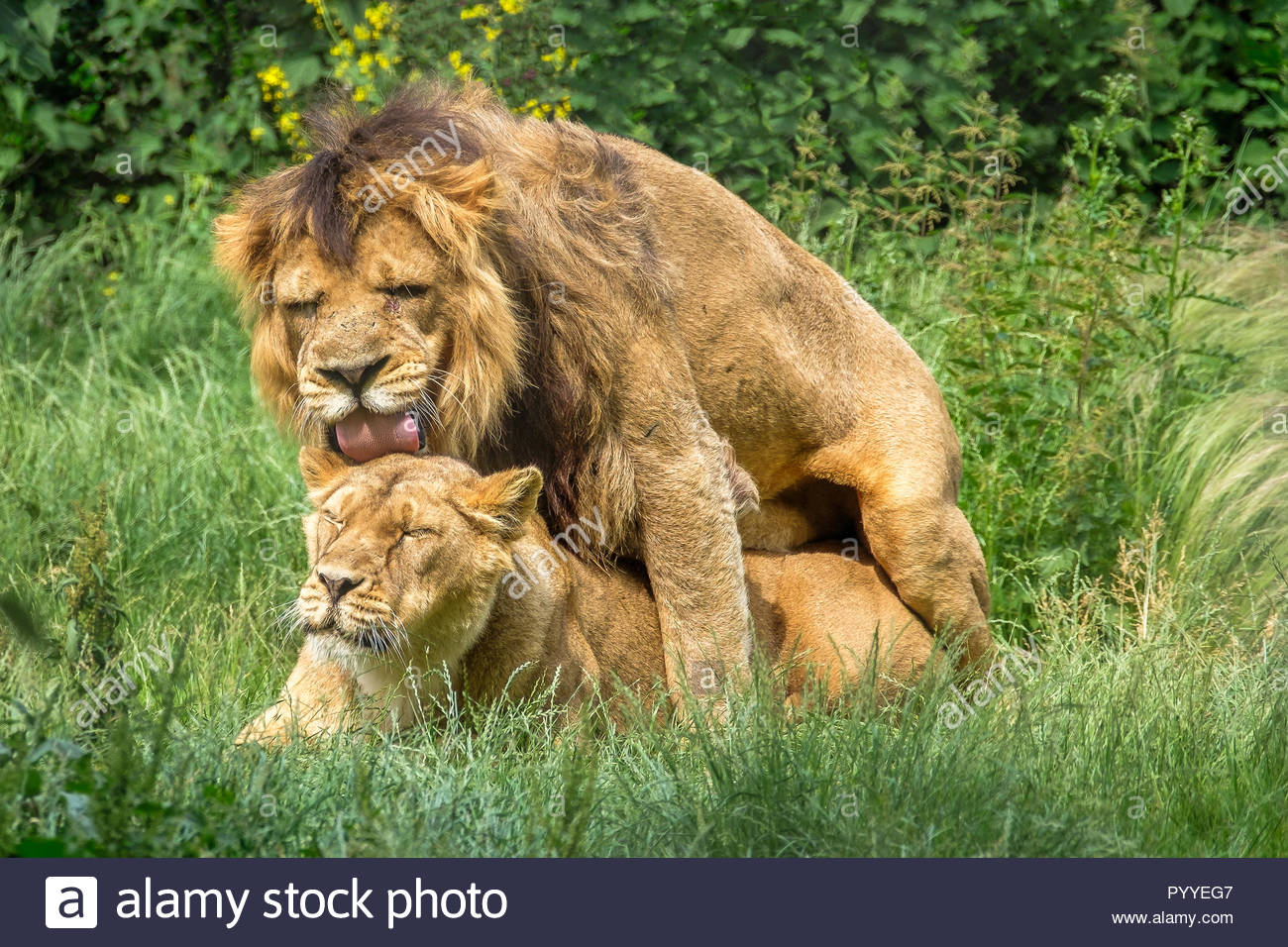 Mating Asiatic Lions - Stock Image